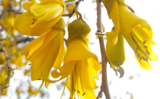 Kowhai signal that Spring has arrived